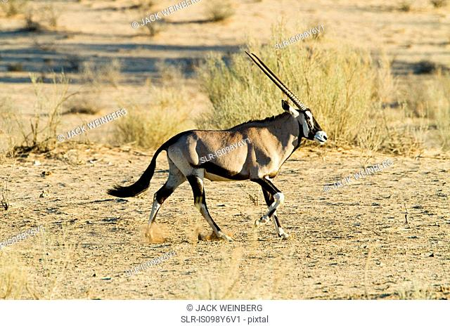Gemsbok walking in desert