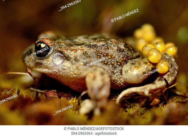 Iberian midwife toad (Alytes cisternasii) in Valdemanco, Madrid, Spain
