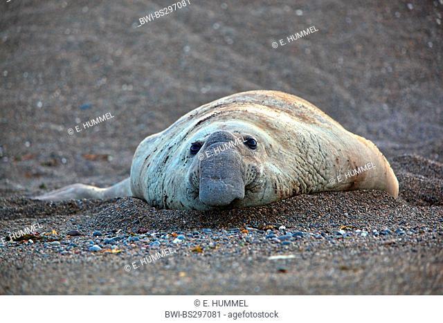 southern elephant seal (Mirounga leonina), bull lying on the beach, Argentina, Valdes Peninsula