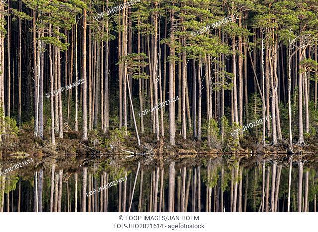 Loch Mallachie tall pines in Scotland