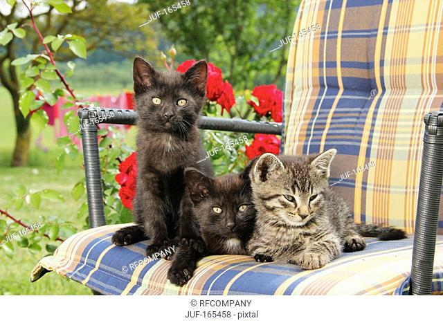 domestic cat - three kittens 51 days on chair