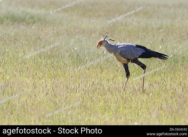 Secretary bird (Sagittarius serpentarius), adult, in high grass, searching for food, Kgalagadi Transfrontier Park, Northern Cape, South Africa, Africa