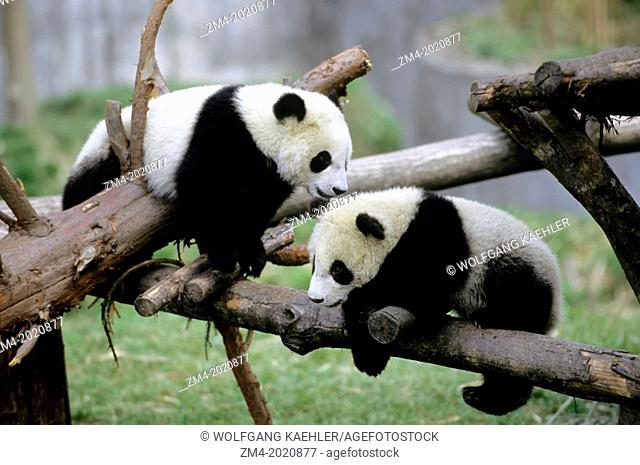 CHINA, SICHUAN PROVINCE, WOLONG PANDA RESERVE, GIANT PANDA CUBS (Ailuropoda melanoleuca), 6 MONTHS OLD, PLAYING