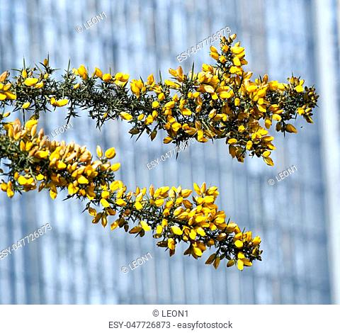 Calicotome spinosa, thorny broom or spiny broom