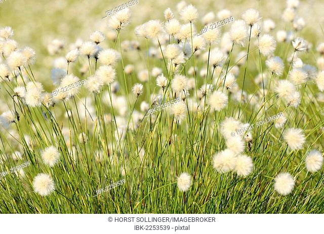 Hare's-tail Cottongrass, Tussock Cottongrass or Sheathed Cottonsedge (Eriophorum vaginatum L.) in flower, near Rosenheim, Bavaria, Germany, Europe