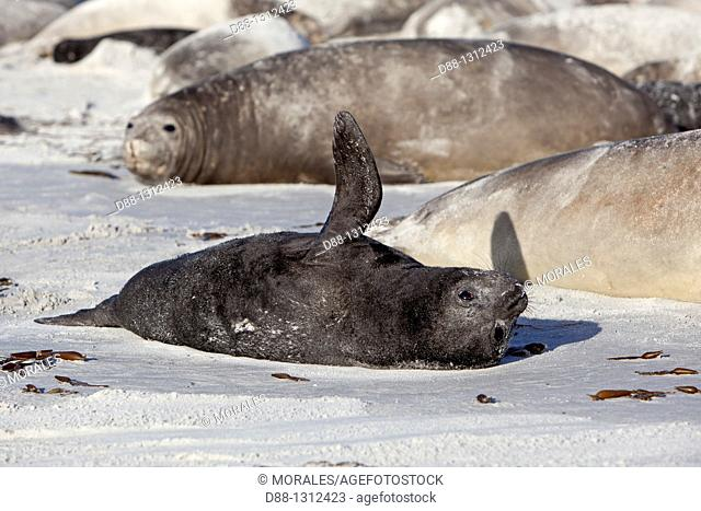 Falkland Islands , Sea LIon island , Southern Elephant Seal Mirounga leonina , baby