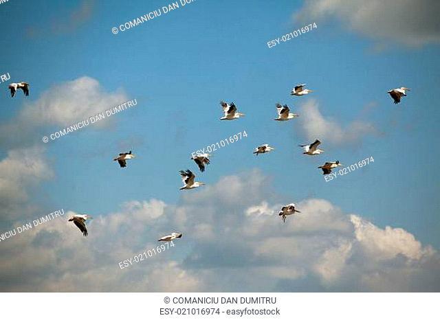 pelicans flying against blue sky
