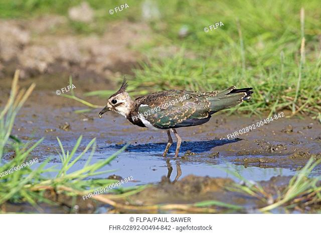 Northern Lapwing Vanellus vanellus juvenile, feeding, standing at edge of water, Suffolk, England, July