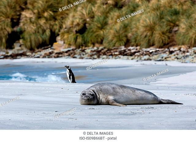 Southern elephant seal (Mirounga leonina), resting on beach., Port Stanley, Falkland Islands, South America