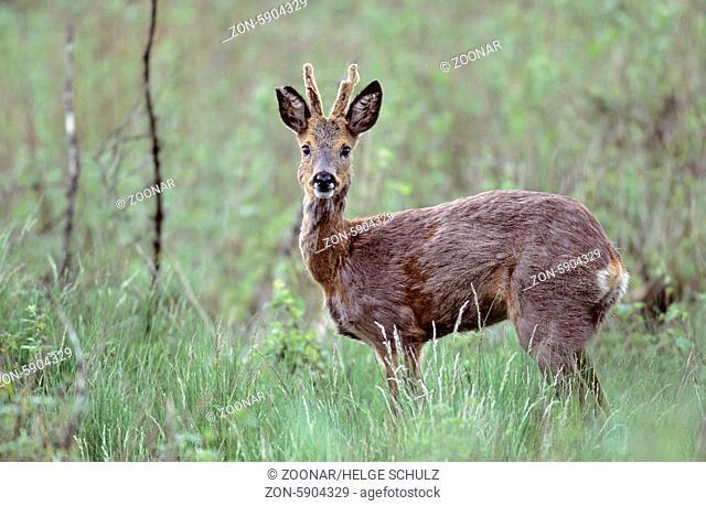 Rehbock mit Bastgehoern im Fellwechsel / Roe Deer buck with velvet antler in change of coat / Capreolus capreolus