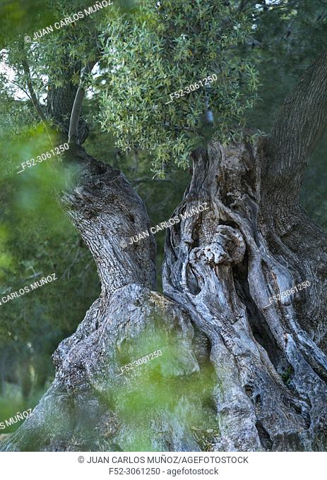 Ancient Olive Tree (Olea europaea), Moleta del Remei Iberian Village, Alcanar Village, La Senia Territory, Terres de l'Ebre, Tarragona, Catalunya, Spain