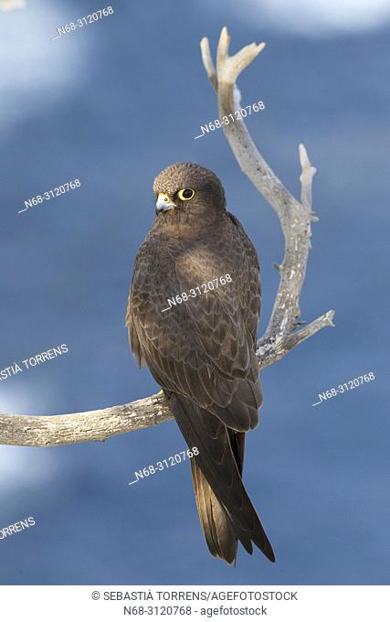 Eleonora's Falcon (Falco eleonorae) on a branch. , Majorca, Balearic Islands, Spain