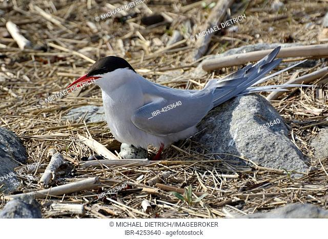 Arctic tern (Sterna paradisaea) on nest with eggs, Eider estuary, North Frisia, Schleswig-Holstein, Germany
