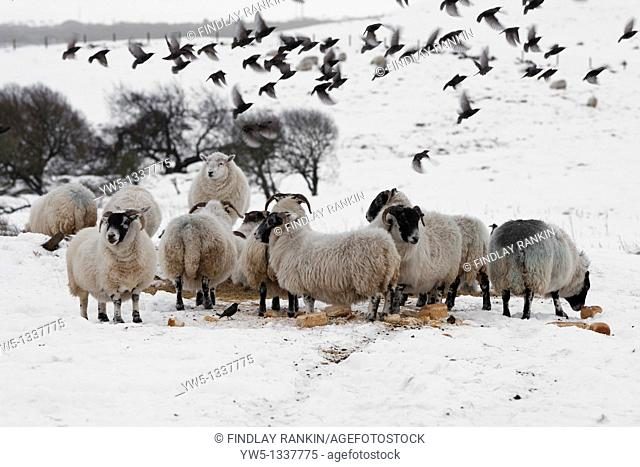 Sheep feeding from winter supplies of straw and hay with flock of starling feeding from it too  Eaglesham Moor, near Glasgow, Scotland, UK