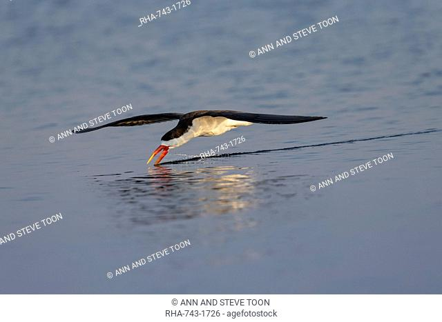 African skimmer, Rynchops flavirostris, fishing, Chobe river, Botswana, Southern Africa