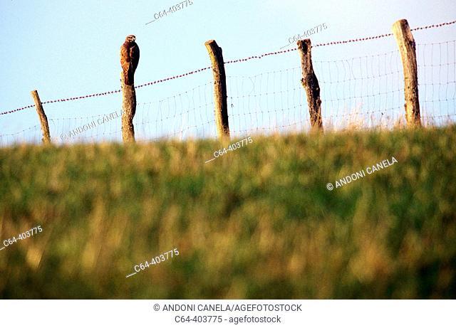 Common buzzard (Buteo buteo). Pyrenees. Navarra. Spain
