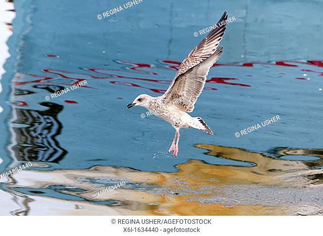 Seagull Flying over Habour Waters and Scavenging Food, Gillelije, Sjaelland, Denmark