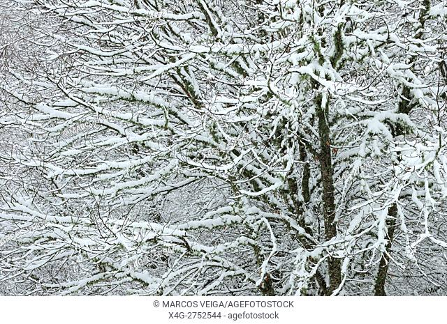 Snow-covered oak trees