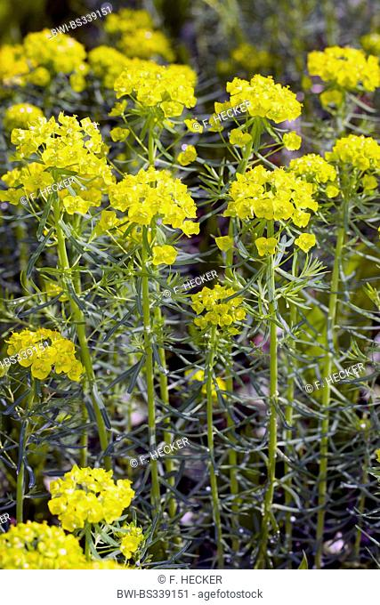 cypress spurge (Euphorbia cyparissias), bloming, Germany