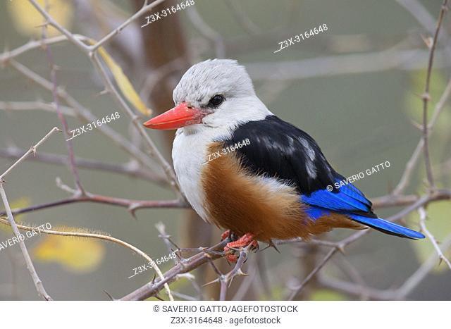 Grey-headed kingfisher, Santiago, Cape Verde (Halcyon leucocephala)