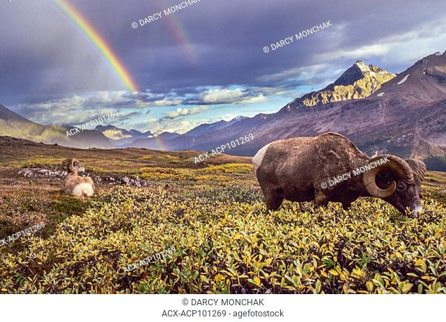 BIGHORN SHEEP Ram (Ovis canadensis), with rainbow at Wilcox Pass, Jasper National Park, Alberta, Canada
