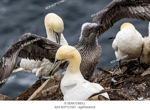 Northern Gannet, Morus bassanus, chick with parent at Cape St. Mary's ecological reserve, Newfoundland, Canada