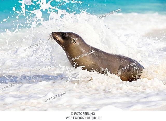 Ecuador, Galapagos Islands, Espanola, Gardner Bay, sea lion sitting in sea foam at seafront