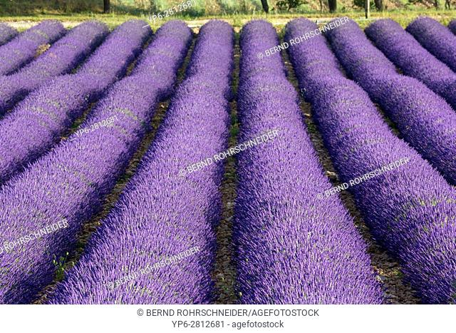 lavender field near Roussillon, Luberon, Vaucluse, Provence, France