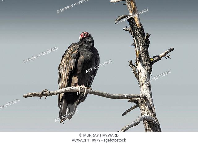 Turkey Vulture (Cathartes aura) Turkey Vulture, with red head, sitting on a tree branch, resting. Full veiw looking camera left. Cranbrook, BC, Canada