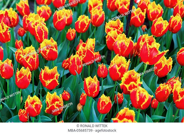 Holland, the Netherlands, Lisse, Keukenhof, blossomsing tulips triumph of Fabio in Willem Alexander Pavillon