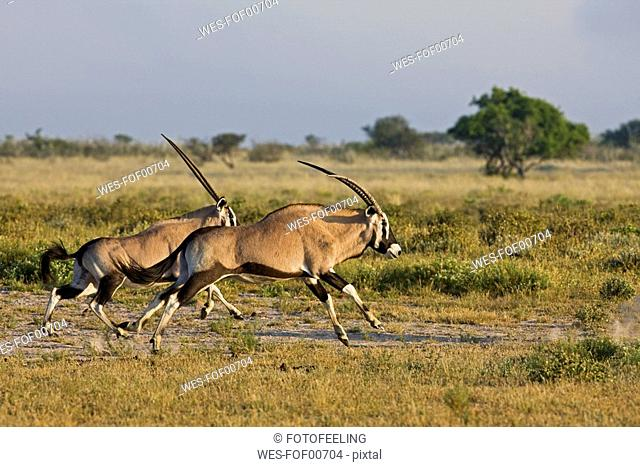 Africa, Botswana,Oryx Herd Oryx gazella