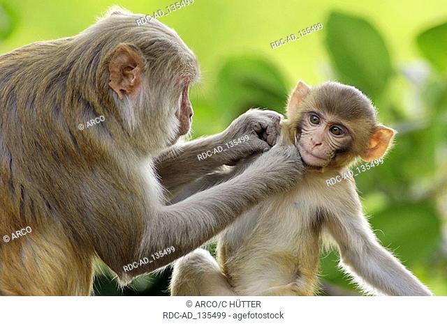 Rhesus Monkeys female with young Keoladeo Ghana national park Rajasthan India Macaca mulatta Rhesus Macaque