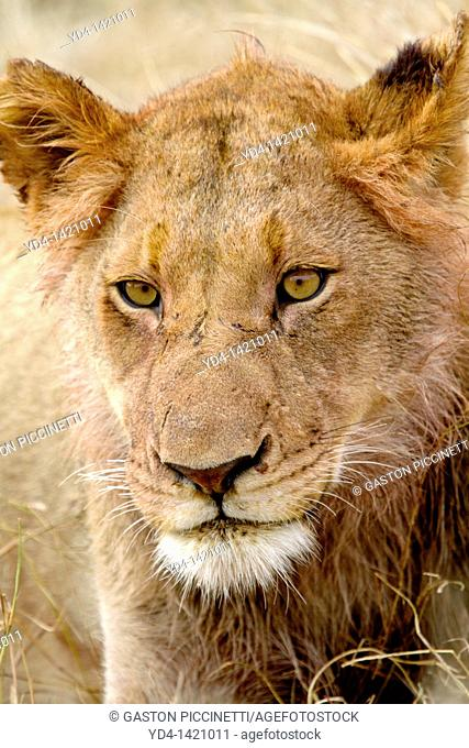 African Lion Panthera leo - Young, after eat, Kruger National Park, South Africa