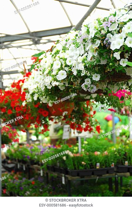 Rows of flowers for sale in a greenhouse