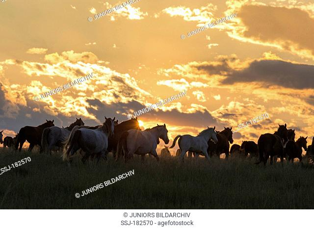 Nooitgedacht Pony. Herd of mares silhouetted against the evening sky. South Africa