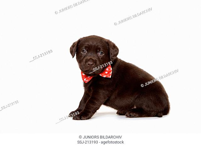 Labrador Retriever. Brown puppy (6 weeks old) sitting, wearing red bow tie with white polka dots. Studio picture against a white background. Germany