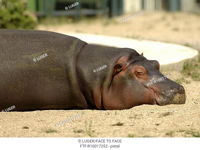 Hippopotamus sleeping, ground view