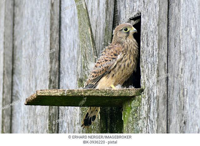 Common Kestrel (Falco tinnunculus), young bird, Emsland, Lower Saxony, Germany