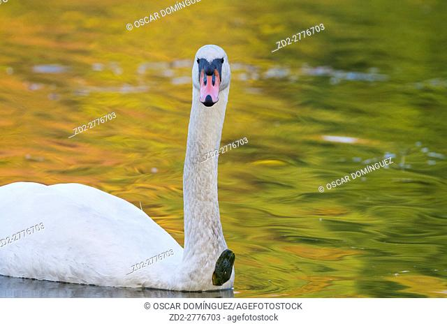 Mute Swan (Cygnus olor) on water. Lower Silesia. Poland