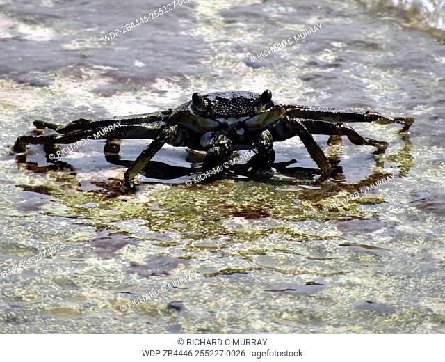 La Guancha Boardwalk Crab in Water-Ponce, Puerto Rico