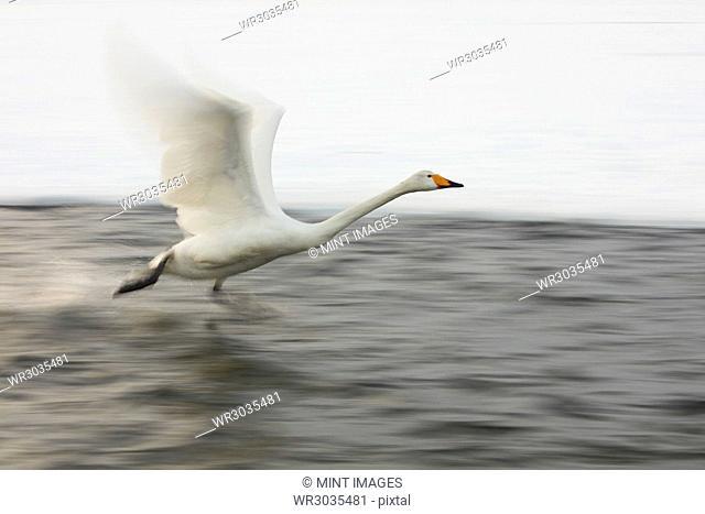 Whooper Swan, Cygnus cygnus, flying over frozen bay in winter