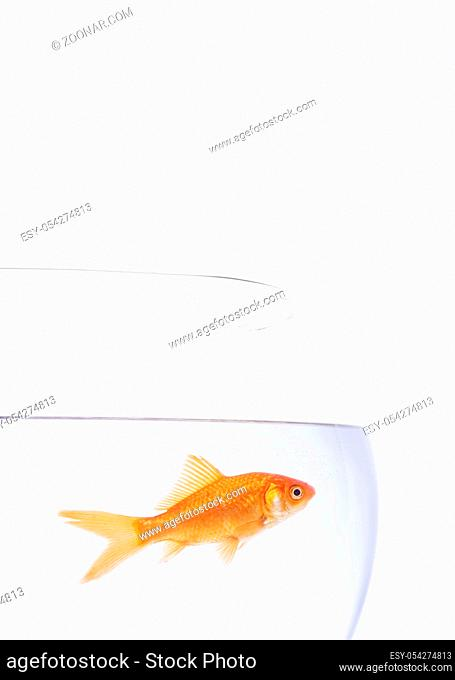 Single Goldfish in a bowl