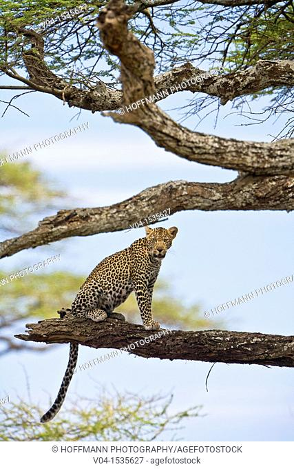 A leopard (Panthera pardus) sitting on tree in the Serengeti National Park, Tanzania, Africa
