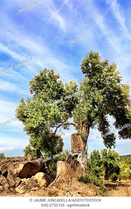 Olive Tree in Matarranya. Teruel