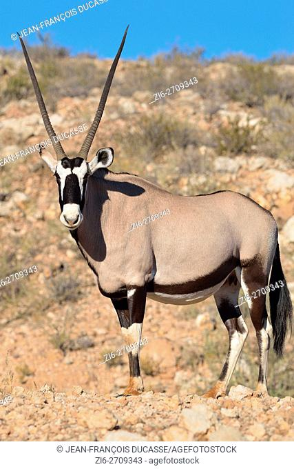 Gemsbok (Oryx gazella), adult female standing on stony ground, Kgalagadi Transfrontier Park, Northern Cape, South Africa, Africa