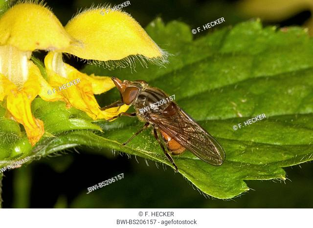 Rhingia campestris (Rhingia campestris), sitting at the yellow blossoms of a dead-nettle
