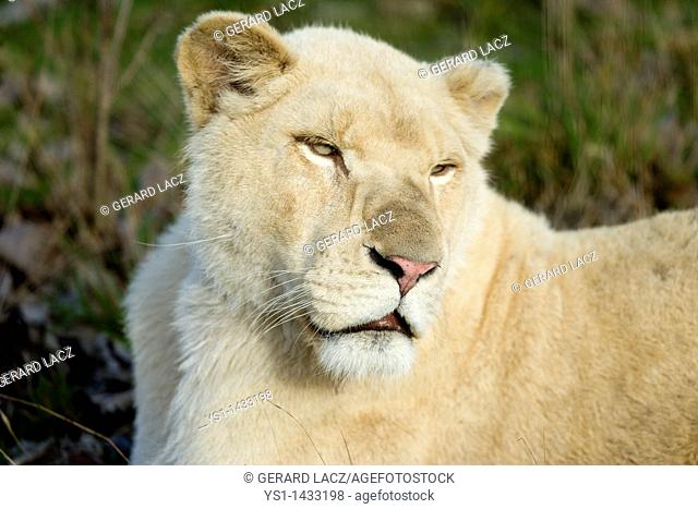 WHITE LION panthera leo krugensis, PORTRAIT OF FEMALE