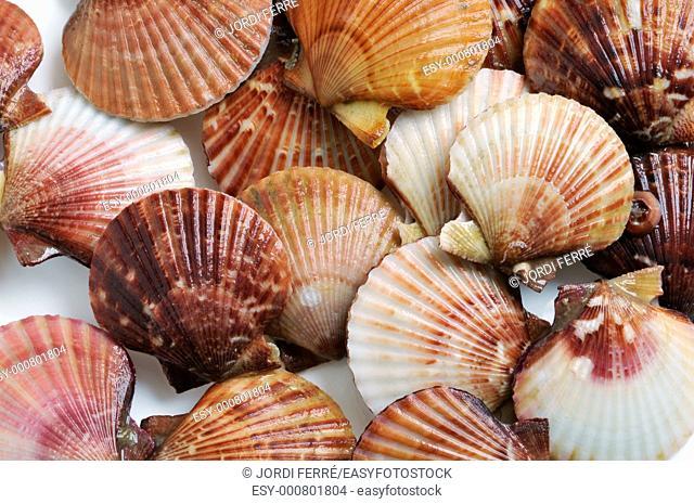 Scallops, Shells of Pilgrims