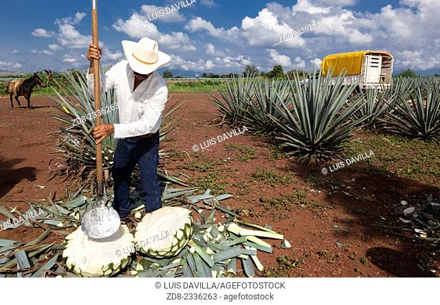 The jima is the harvest of the ageve. it is a manual craftsmanship handled by the jimador, who shaves off the agave stalks to arrive to the core of the plant...
