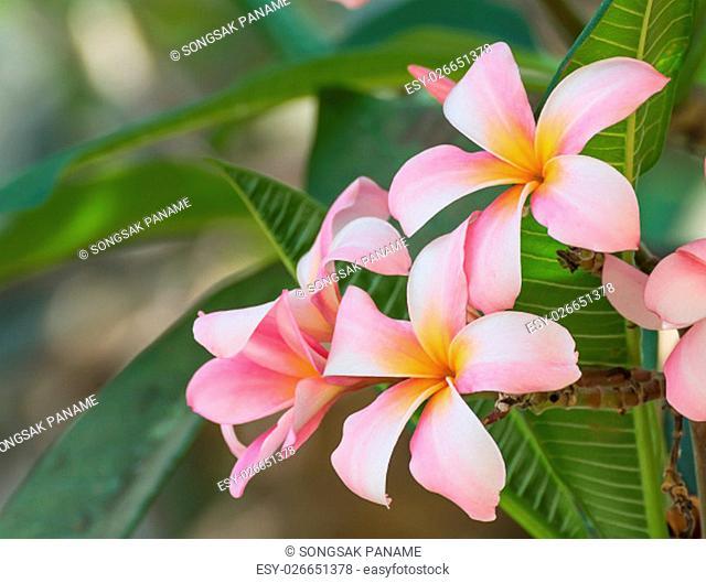 Beautiful pink flower in thailand, Lan thom flower